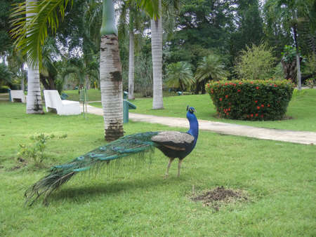 A beautiful peacock with a long tail walks on a green lawn. Around palms, tropical plants. Dominican Republic.