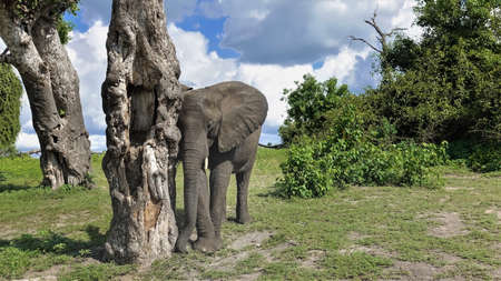A cute baby elephant leaned against a dry tree. The trunk is down, the eyes are closed. Short fangs, large ears. There are green bushes all around. There are picturesque clouds in the sky. Botswana, 免版税图像