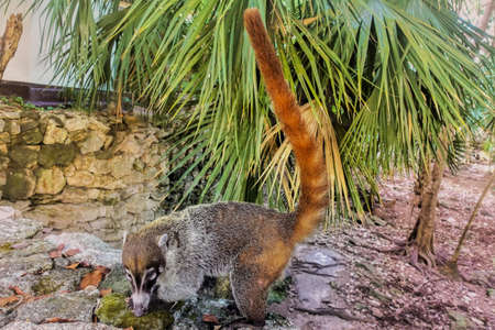 A cute fluffy coati stands on the rocks. Long nose with beige pattern, shiny eyes. The tail is raised high. Background - palm leaves. Mexico.