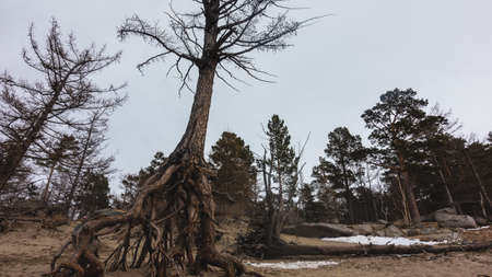 The intricately twisted roots of the tree rise above the sandy soil. The trunk is tilted. Bare branches against the sky. Conifers in the distance.