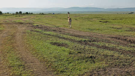 A lone giraffe cub walks on green grass in the endless savannah of Africa. A dirt road winds nearby. Silhouettes of mountains on the horizon. Back view. Kenya. Masai mara park