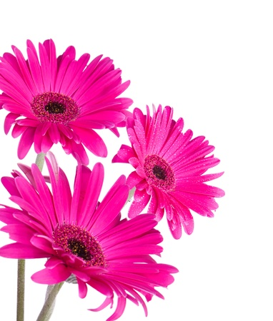 Pink Gerber Daisy isolated on white background  photo