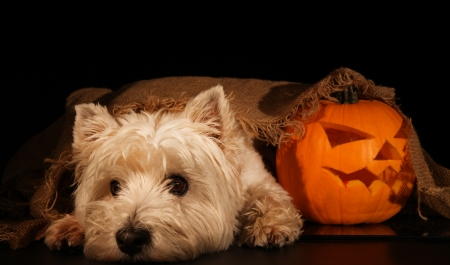 Sweet dog, west highland terrier with Halloween pumpkin  Stock Photo