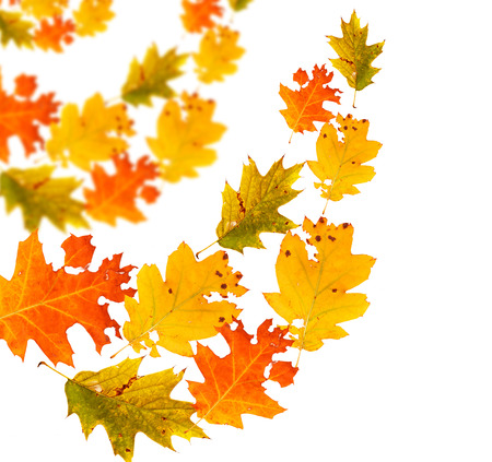 Autumn falling leaves isolated on white background  photo