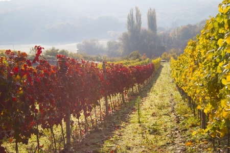 Nature background with Vineyard Wine concept  low depth of focus photo