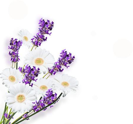 flower gardens: Gerber Daisy y lavanda, aisladas sobre fondo blanco