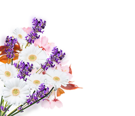 gerber daisy: Gerber Daisy and lavender, isolated on white background