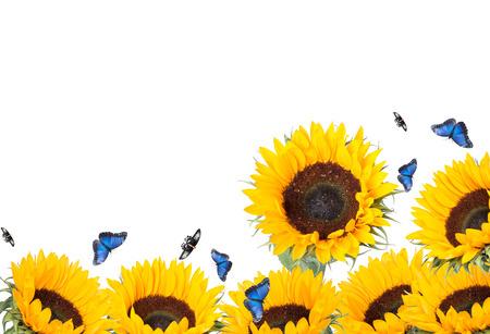 sunflower isolated on white background Reklamní fotografie