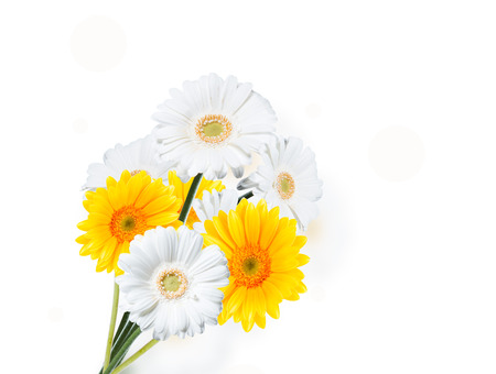 gerber flowers isolated on: Gerber Daisy isolated on white background