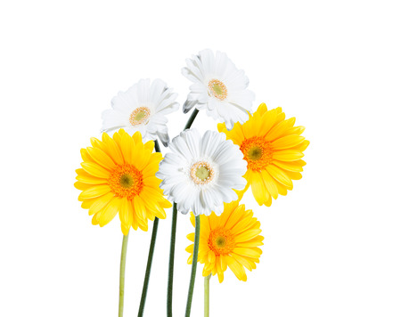 gerber daisy: Gerber Daisy isolated on white background