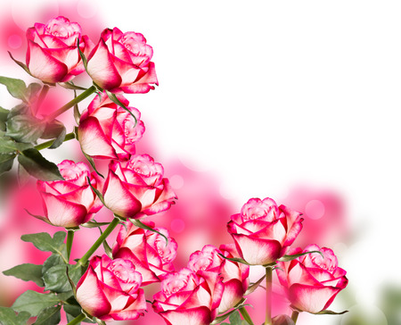 Rose isolated on white background. Pink rose with free space Reklamní fotografie