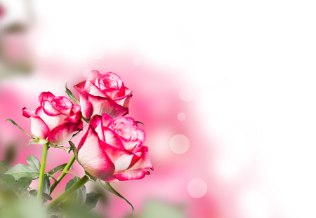 Rose isolated on white background. Pink rose with free space