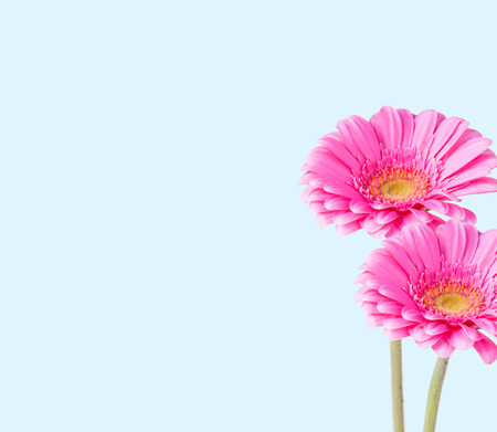 gerber daisy: Gerber Daisy isolated on blue background
