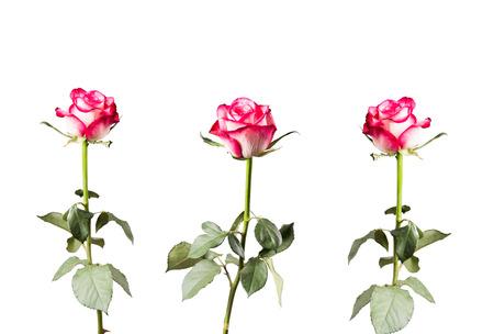 rosas blancas: Rose aislado en el fondo blanco. Rosa rosa con el espacio libre