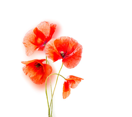 papaver: Red poppies, papaver isolated on white background Stock Photo