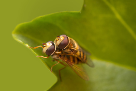 copulation: Macro photography of flower fly copulating on leaf. Stock Photo