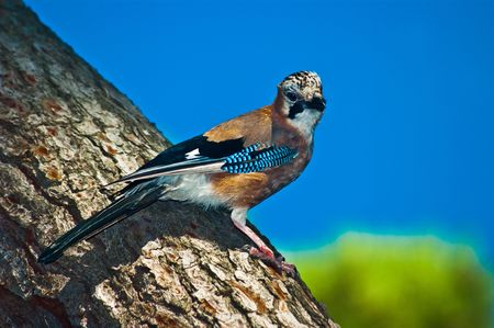 albero: Close up of a colorful bird perched on a bark of a pine tree with sky background