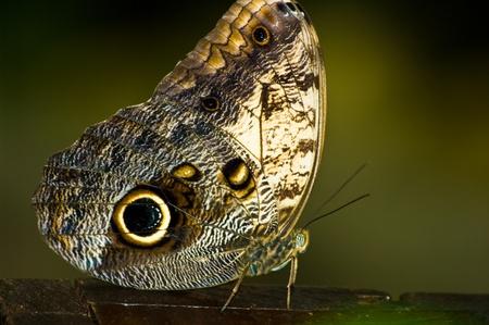 eyespot: Caligo butterfly macro