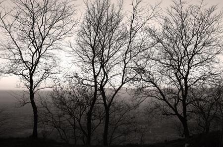 monocrome: Old Caserta Trees backlit monocrome seppia