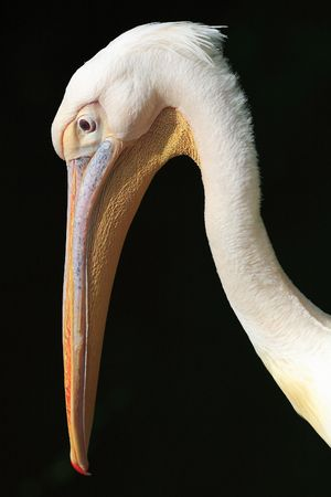 White pelican Stock Photo - 7086093