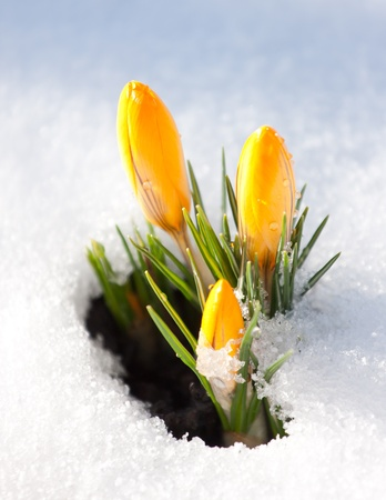 Yellow crocus  Crocus flavus  in snow  photo