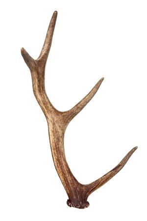Deer horn isolated on white Stock Photo - 13833877