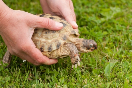 Female hands holding turtle over green grass