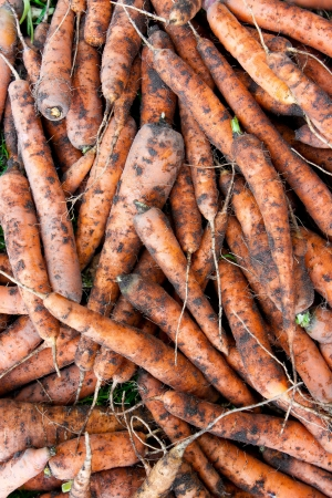 Background of fresh dirty carrots photo