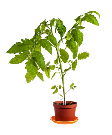 Tomato plant growing in pot isolated over white background