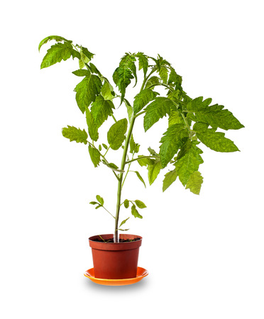 Tomato plant growing in pot  over white background