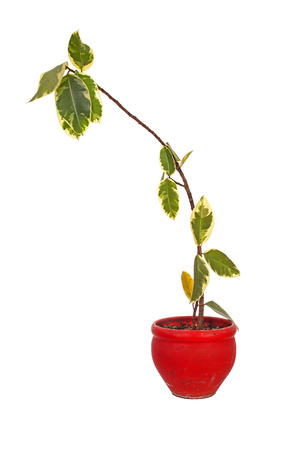 diseased: Dying plant in red clay flower pot isolated over white