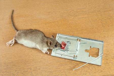 dead rat: Dead rat killed by rat-trap