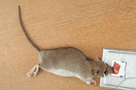 dead rat: Dead rat killed by rat-trap