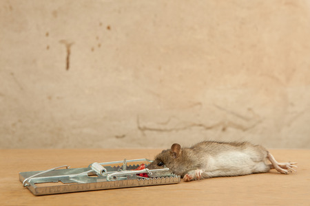 dead rat: Dead rat killed by rattrap with piece of sausage as a bait on a yellow floor against old smudged wall
