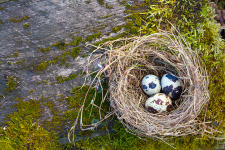 Quail eggs in a nest of hay on moss photo