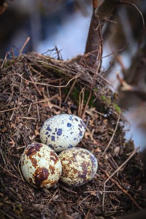quail nest: Three quail eggs on a nest Stock Photo