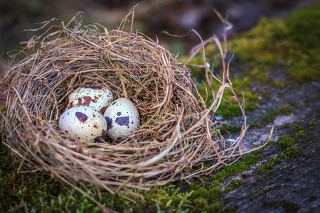 quail nest: Quail eggs in hay nest on moss