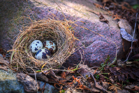 quail nest: Quail eggs in nest on stone Stock Photo