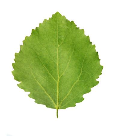 aspen leaf: Green leaf of aspen (Populus tremula) isolated over white background Stock Photo