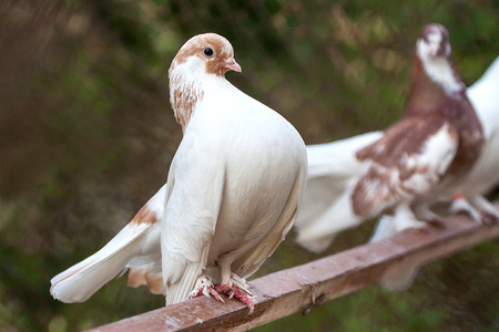 white perch: White pigeon on perch over blurred background
