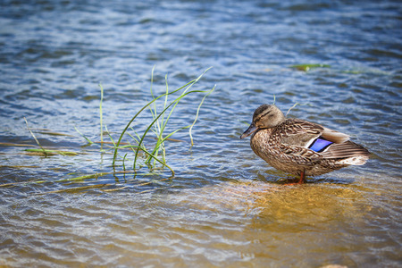 Duck standing in water near grass