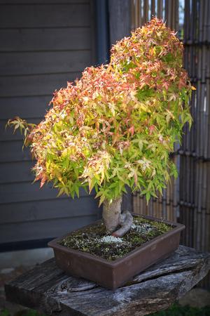 Green maple bonsai tree