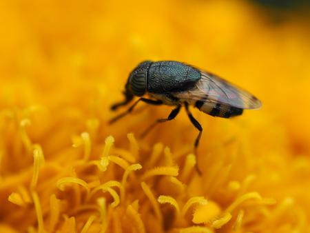 carpel: bee bug carpel closeup flower garden insects macro worker yellow Stock Photo