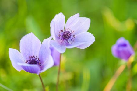 Frühlingsblumen - Poppy Anemone