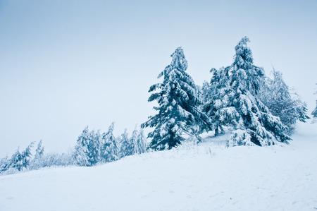 abetos: Abetos en la nieve, paisaje del invierno
