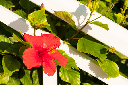 malvaceae: Hibiscus (Malvaceae family) Stock Photo