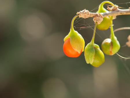 lycium: Lycium afrum (Solanaceae family)