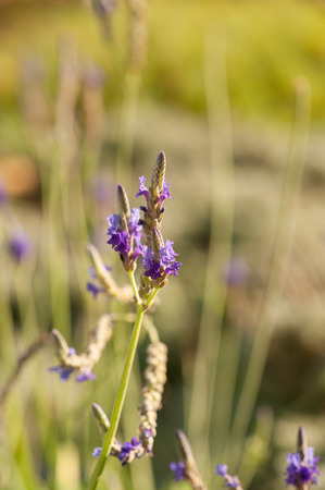 officinalis: Lavender (Lavandula angustifolia, officinalis)