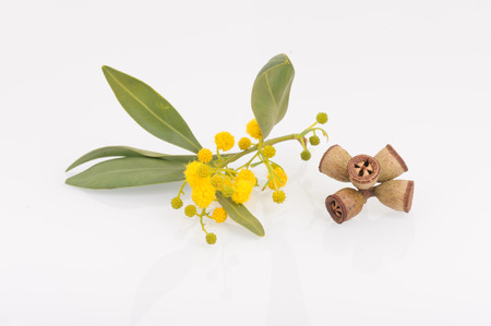 odorous: Eucalyptus leaves, flowers and fruit Stock Photo
