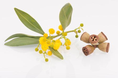 Eucalyptus leaves, flowers and fruit Stock Photo